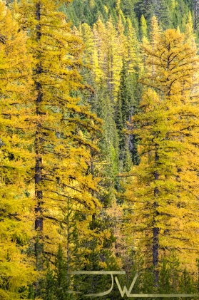 Yellow Pine Trees