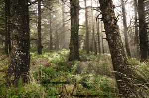 Ocean Mist in an Oregon Forest.