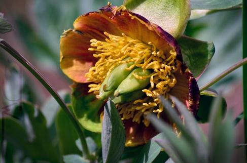 Paeonia brownii