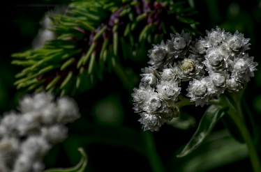 western pearly everlasting