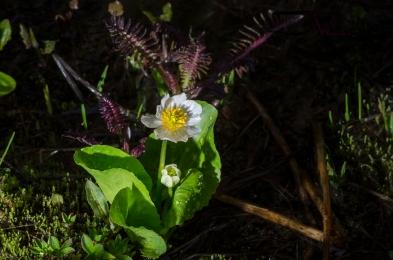white marsh marigold
