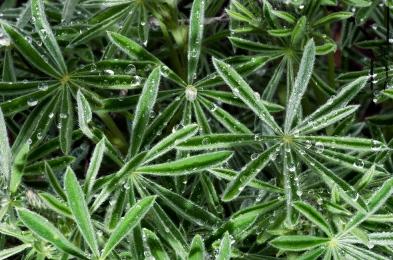Elegant Lupine Leaves