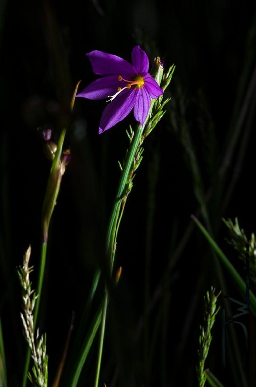 Nevada blue-eyed grass