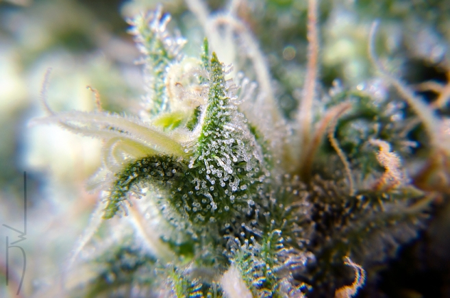 A trichome covered calyx.