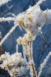 Ice chunks on a dead flower.
