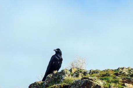 Raven Staredown