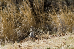 Adorable Ground Rat