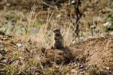Adorable lil Sage Rat