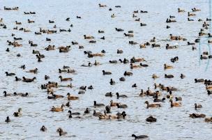All Ducks
