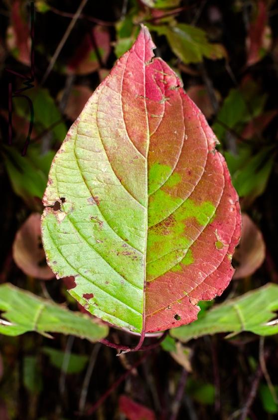 Candy Leaf