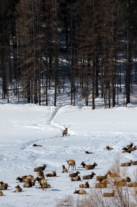 An Elk Guards the Herd