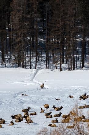 An Elk Guards the Herd