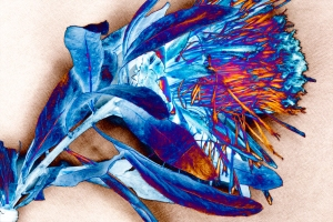 Protea Colored
