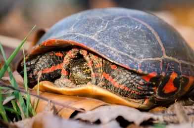 Michigan Turtle